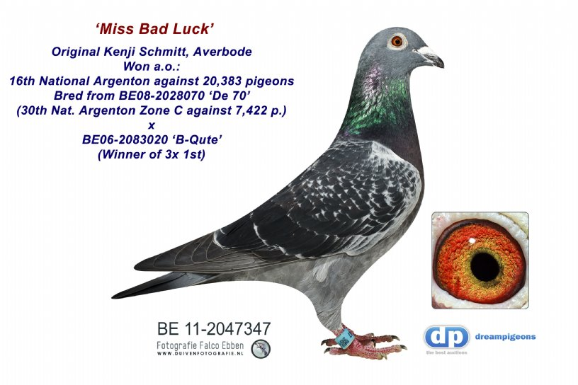 BE11-2047347 Miss Bad Luck: 16th Nat. Argenton 20,383 pigeons (hen)