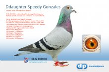 B-12-6044035 Direct daughter 2nd Olympiade Pigeon Speedy Gonzales � (hen)