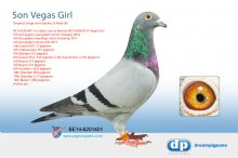B-14-6201401 Direct son 4th Ace Pigeon Union Antwerp Vegas Girl � (cock)