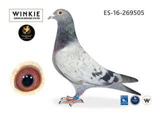 ES16-269505 Cock  100% Jan Hooymans