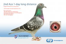 NL10-1837427 2nd Ace pigeon one day long distance 2013 - (hen)