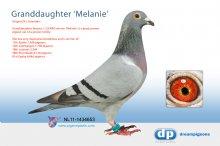 NL11-1434653 Granddaughter famous 1, 2, 8 NPO winner Melanie (hen)