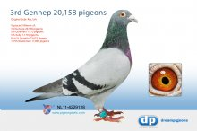 NL11-4229128 3rd Gennep 20,158 pigeons (cock)