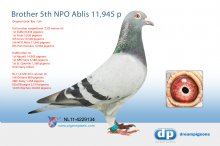 NL11-4229134 Brother 5th NPO Ablis 11,945 pigeons (cock)