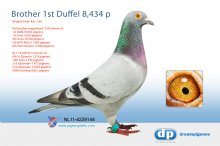 NL11-4229144 Brother 1st Duffel 8,434 pigeons (cock)