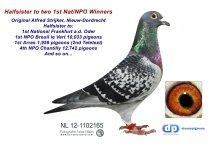NL12-1102165 Halfsister to 1st NPO 10,133 pigeons (hen)