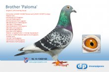 NL14-1068168 Full brother Paloma (6th NPO Bourges 8,579p) (cock)