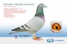 NL14-1068172 Grandson Olympic Hurricane (cock)