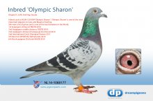 NL14-1068177 Inbred Olympic Sharon (cock)