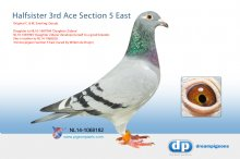 NL14-1068182 Halfsister 3rd Ace pigeon Section 5 East (hen)