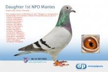NL14-1617402 Direct daughter 1st NPO Mantes La Jolie 1,769 pigeons - (hen)