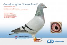 NL14-1678810 Granddaughter Kleine Rossi (hen)