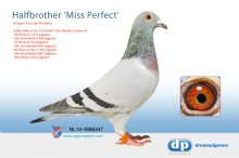 NL14-1688347 Halfbrother Miss Perfect (cock)