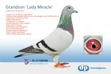 NL14-1688386 Grandson topbreeder Lady Miracle (cock)