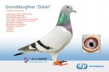 NL14-1688387 Granddaughter famous Zlatan (hen)