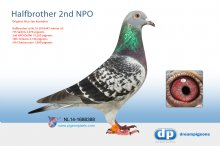 NL14-1688388 Halfbrother 2nd NPO (cock)