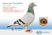 NL14-1688389 Direct son Cancellara 7th NPO (cock)