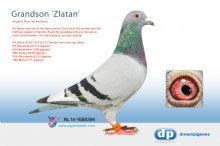 NL14-1688394 Grandson Zlatan (cock)