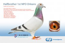 NL14-1688418 Halfbrother 1st NPO Orleans (cock)