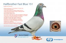 NL14-1733237 Halfbrother Fast Blue 151, Fast 106 & Blauwe 211 - cock