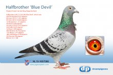 NL15-1657066 Halfbrother Blue Devil - Antoon van der Burg