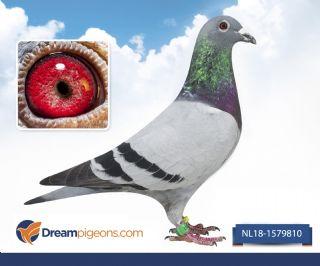 NL18-1579810 zoon olympic Dafne Olympiade duif 2017 Brussel