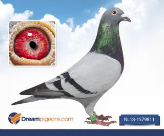 NL18-1579811  zoon olympic Dafne Olympiade duif 2017 Brussel
