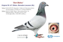 NL11-1470462 Son Balou 5th & 10th NPO (blue cock)