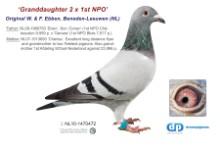 NL11-1470472 Granddtr to 2 1st NPO Winners (blue hen)