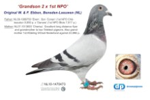 NL11-1470473 Grandson to 2 1st NPO Winners (blue cock)