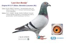 NL11-1470475 Last son Bontje (blue cock)